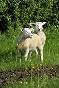 Two lambs Stock Photos