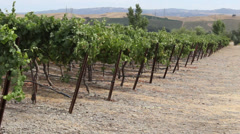 Pan Left Hills and Vineyard Rows Stock Footage