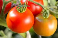Stock Photo of ripe tomatoes on a tomato bush in a garden