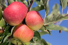 ripe apples on an apple tree - stock photo