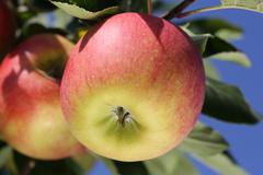 ripe apple on an apple tree in autumn - stock photo