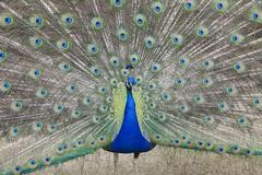 Indian Peafowl Pavo cristatus (Asiatic)with tail feathers displayed in courtship - stock photo