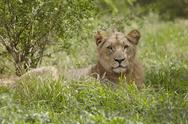 Stock Photo of Lioness lying in African undergrowth