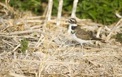 Rannikko lintu lentää animal wildlife klamath järven alueella oregon Kuvituskuvat