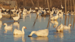 Heihe gooses 11 Stock Footage