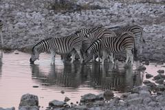 Zebras at waterhole  Etosha  Namibia - stock photo