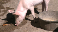 Pigs at petting zoo Stock Footage