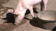 Stock Video Footage of Pigs at petting zoo