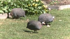Guineafowl at Heckscher Farm (2 of 2) Stock Footage