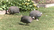 Stock Video Footage of Guineafowl at Heckscher Farm (2 of 2)