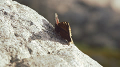 Butterfly on Rock Late Afternoon Autumn Breeze Stock Footage