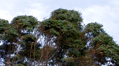 Gum trees in high winds 2 Stock Footage