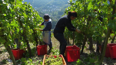 Mosel Moselle Zell Vineyard harvest in Autumn Rhineland-Palatinate Germany - stock footage