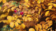 Stock Video Footage of Close up view of briar ripe red berries on yellow leaf branch, autumn