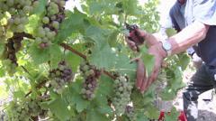 Fisheye Mosel Moselle Zell Vineyard harvest in Autumn Rhineland-Palatinate - stock footage