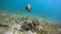Anemonefish attacks Stock Footage