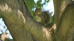 Squirrel's antics in tree Stock Footage