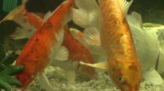 Koi in fish tank Stock Footage