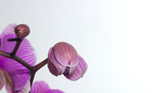 Closeup orchid flower blossom growing time-lapse on white background Stock Footage