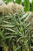 Corn stalks bundled for sale Stock Photos