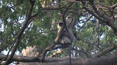 Gray langur monkeys in trees Stock Footage