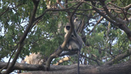 Stock Video Footage of Gray langur monkeys in trees
