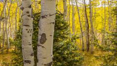 Aspen grove of fall leaves with light coming through Stock Footage