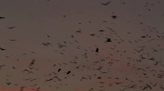 Fruit bats flying in sky on dusk Stock Footage