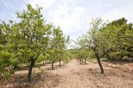 Stock Photo of Rows of almond trees in almond grove, Valencia Region, Spain