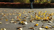 Stock Video Footage of Fallen yellow leaves on the pavement
