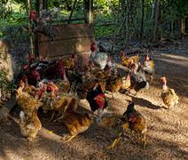 Free range hens feeding Stock Photos
