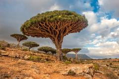 Dragon trees at dixam plateau, socotra island, yemen Stock Photos