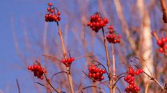 Red berries Kalina, autumn Stock Footage