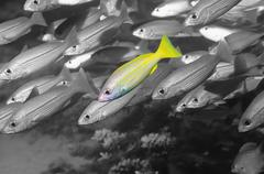 Blue lined snapper fish standing out among several fishes underwater - stock photo
