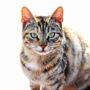 Tabby Cat - stock photo