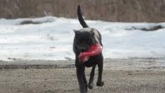 Blck Lab Playing Fetch Stock Footage