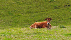 Jersey dairy cow Stock Footage