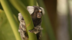 Marmoset Monkey sitting in a tree and sticking out it's tongue Stock Footage