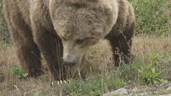Grizzly Bear Foraging Grass CU Stock Footage