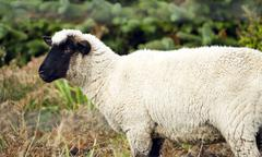 Sheep ranch livestock farm animal grazing domestic mammal Stock Photos