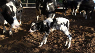 Stock Video Footage of Cows of the herd inspect newborn calf