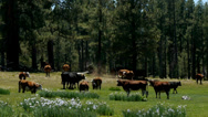 Stock Video Footage of Cows in White Mountains