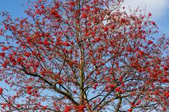 tree of rowan berries (sorbus aucuparia) - stock photo