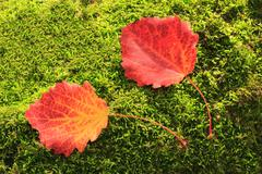 Fallen red leaves of aspen on a background of green moss on the ground. Stock Photos