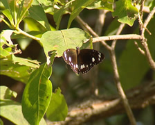 Common Crow (Euploea core) butterfly Stock Footage