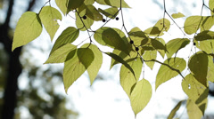Golden leaves 1 Stock Footage