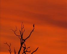 Birds, herons in tree, Kakadu National Park, sunset orange sky Stock Footage