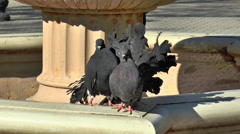 Pigeons in the fountain Stock Footage