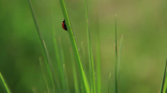 Ladybug red on green leaves. Stock Footage