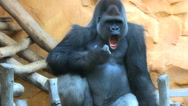 Stock Video Footage of Gorilla